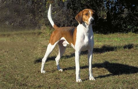 American Foxhound Breed Guide - Learn about the American