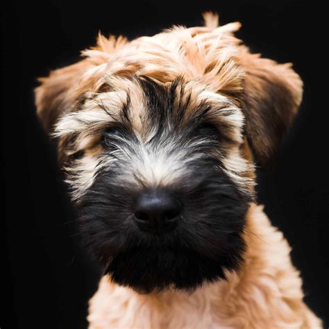 Soft-Coated Wheaten Terrier Dog Breed Infomation