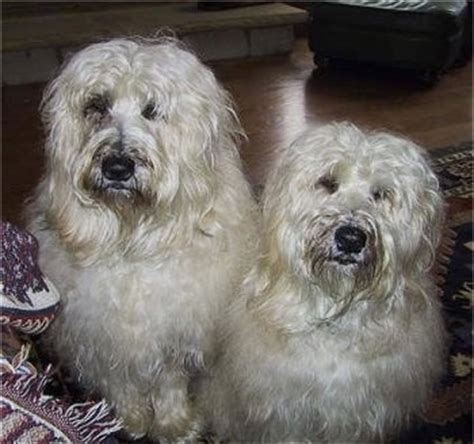 Soft Coated Wheaten Terrier Dog Breed Pictures, 1